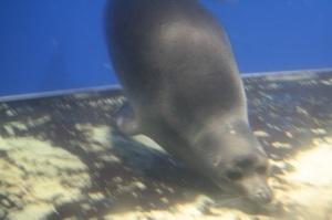 Nerpa, foca de agua dulce
