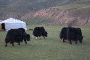 Yaks entre nuestros yurtas