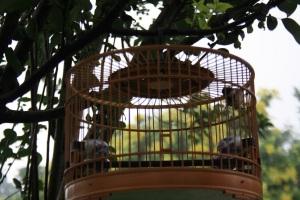 Pájaros enjaulados a lo largo de los paseos del templo del cielo
