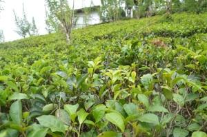 Campo de té en Sri Lanka